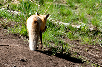 02_fox male delivery_5476